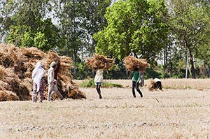 Rural Farmers Workers Harvesting wheat crop in a F