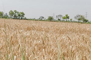Ripe wheat crops ready to harvest in Haryana